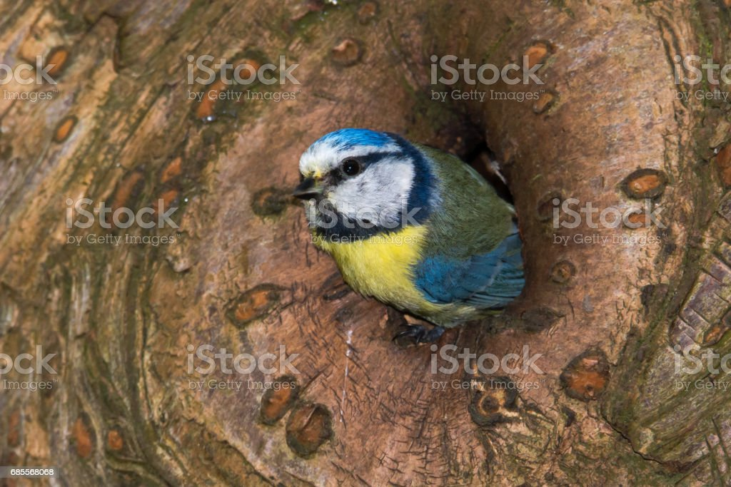 Blue tit (Cyanistes caeruleus) emerging from hole in tree 免版稅 stock photo