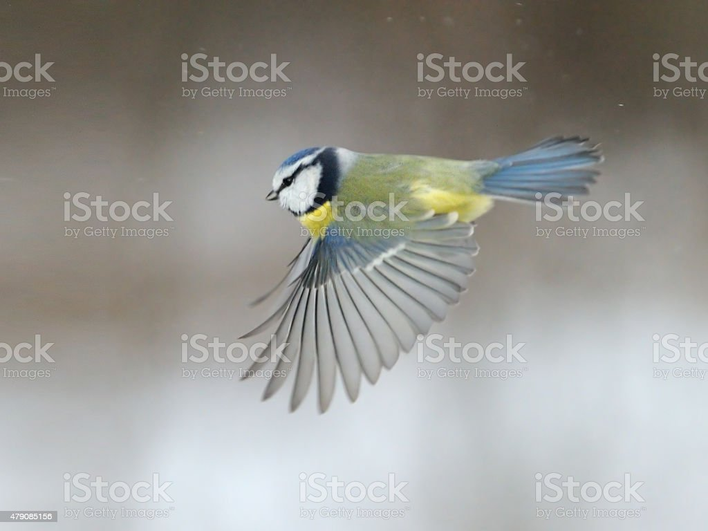 Blue Tit flying over snow background stock photo