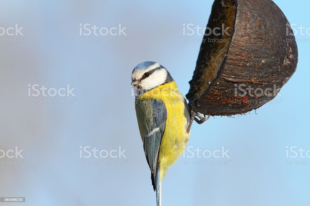 blue tit hanging on coconut feeder stock photo
