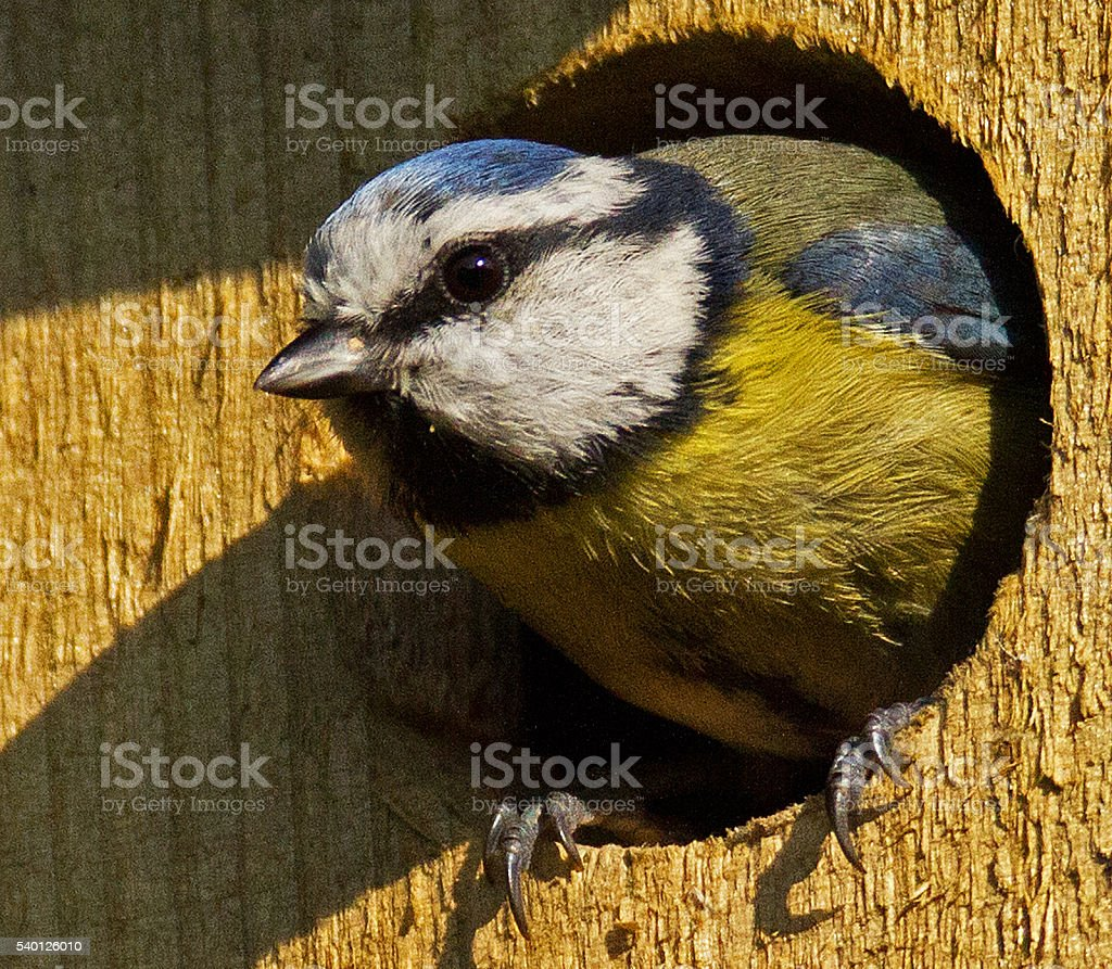 Blue Tit in a nesting box. stock photo