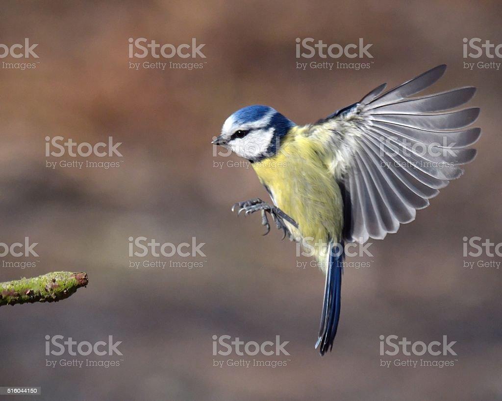 Blue Tit in flight stock photo