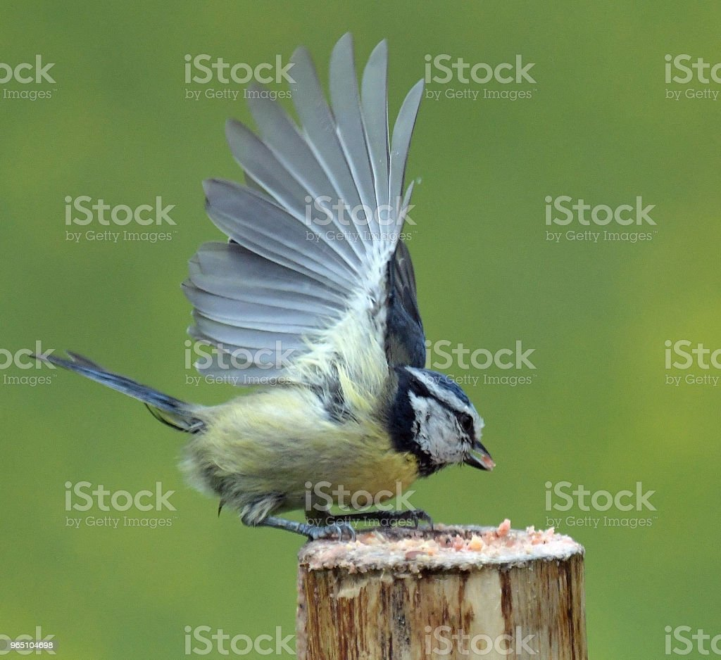Blue Tit in flight royalty-free stock photo