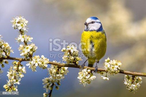 Blue tit (Parus caeruleus) perched on Hawthorn (Crataegus monogyna) twig with white blossom