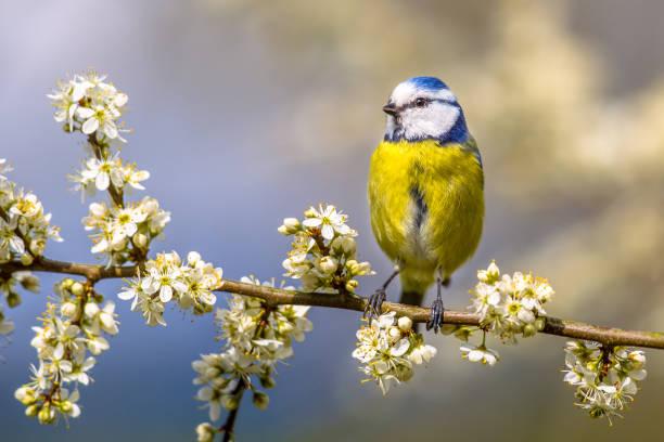 Blue tit in hawthorn blossom picture id690361042?b=1&k=6&m=690361042&s=612x612&w=0&h=ov3fxg8oztrzzy fb9t2o7v6yga4ttznhbw0esaujbu=