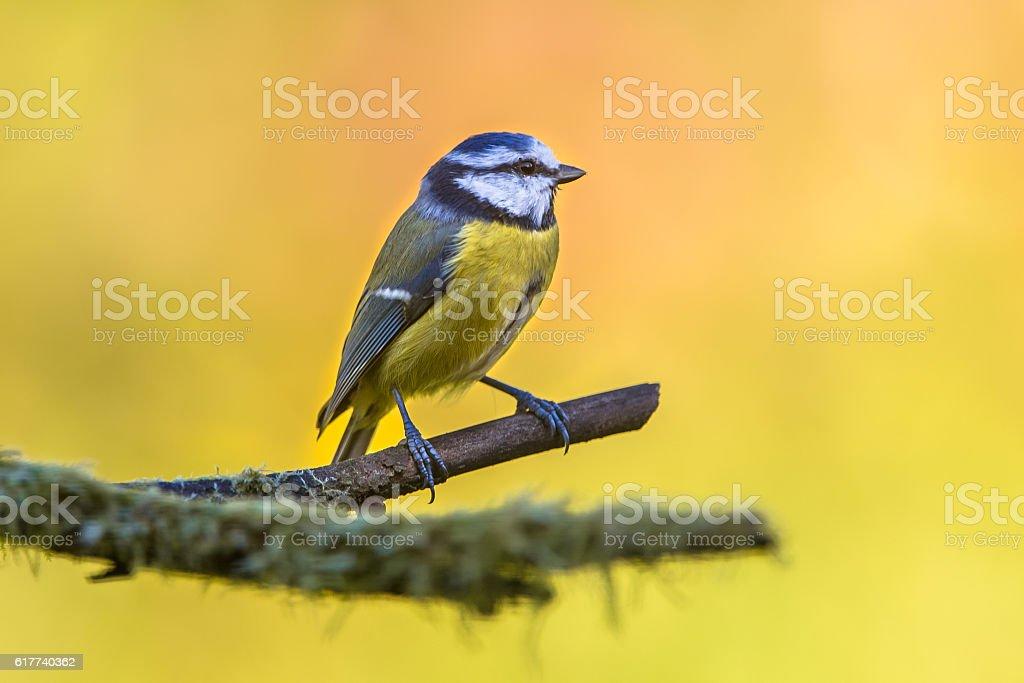 Blue tit in september stock photo