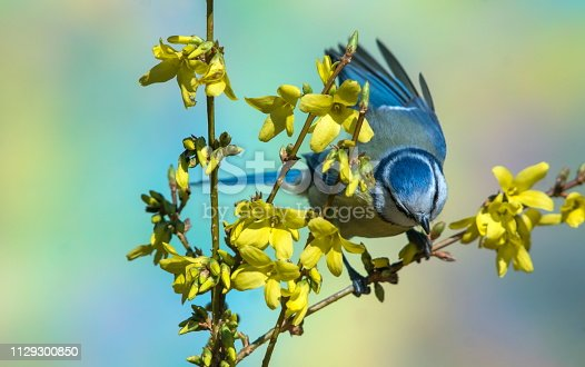 Blue tit in spring,Eifel,Germany. Please see more than 1000 songbird pictures of my Portfolio. Thank you!
