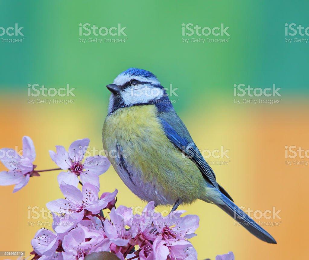Blue tit in springtime stock photo