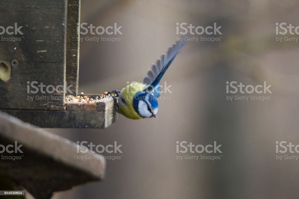 Blue tit in winter hangs on the grid at a tubular feeding station stock photo