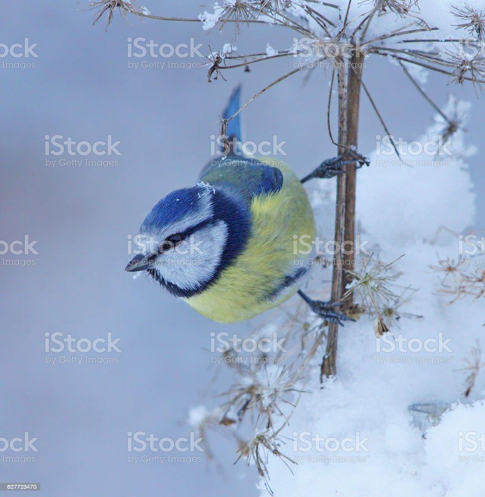 Blue tit in winter stock photo