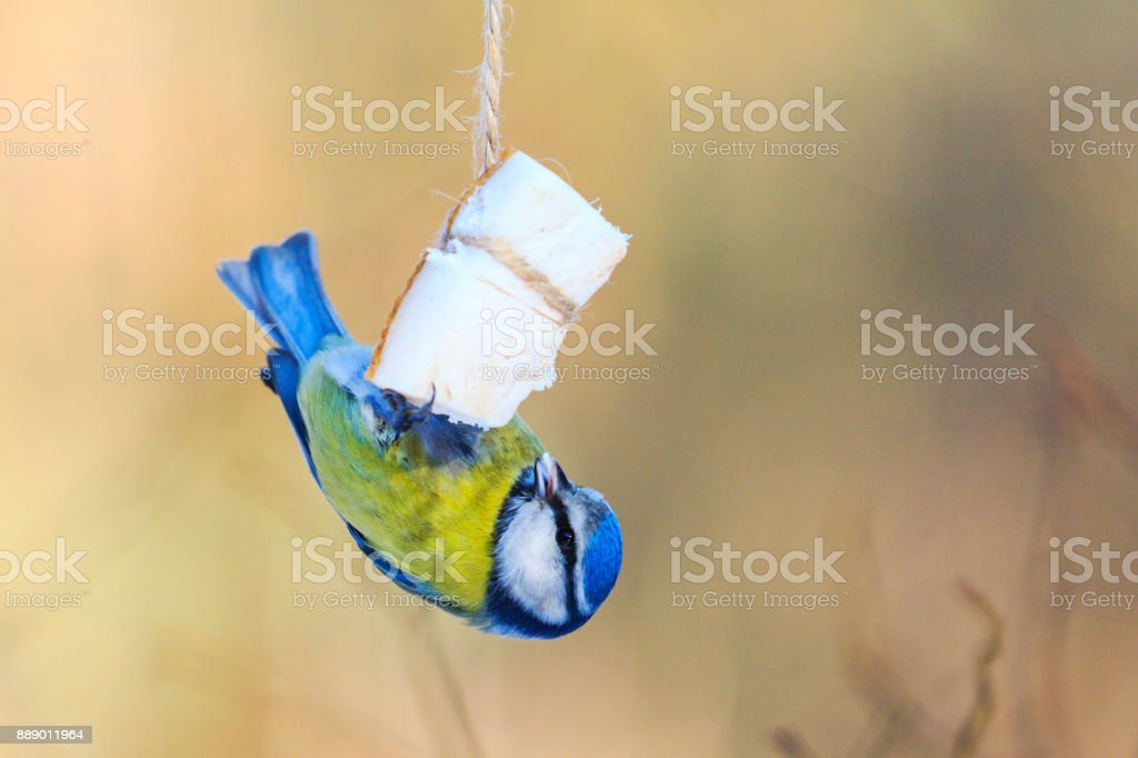 blue tit in winter there is fat in the trough stock photo