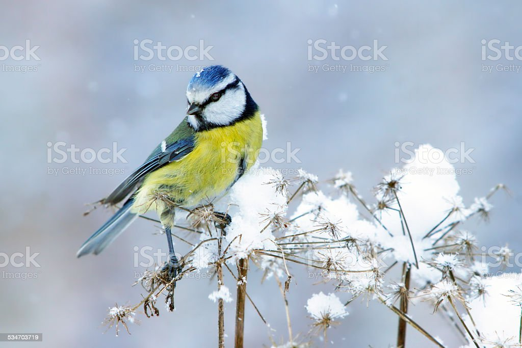 Blue tit in wintertime stock photo