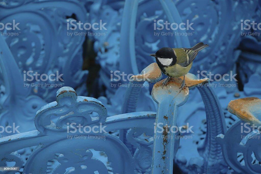 Carbonero azul en la parte posterior de la silla - foto de stock