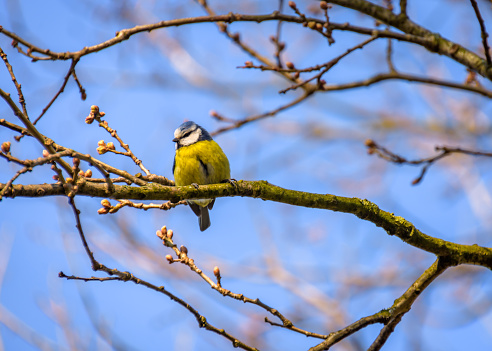 The blue tit is sitting on a twig of a tree  with blurred blue sky background
