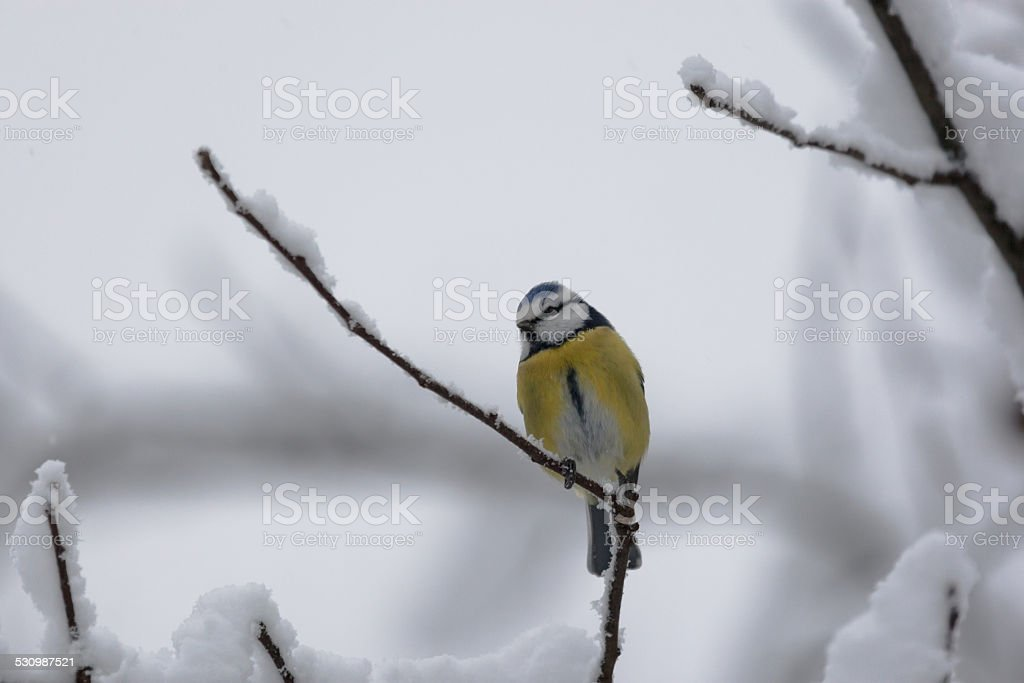 Blue tit on a branch stock photo