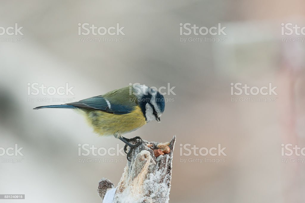 Blue tit on a feeding place stock photo