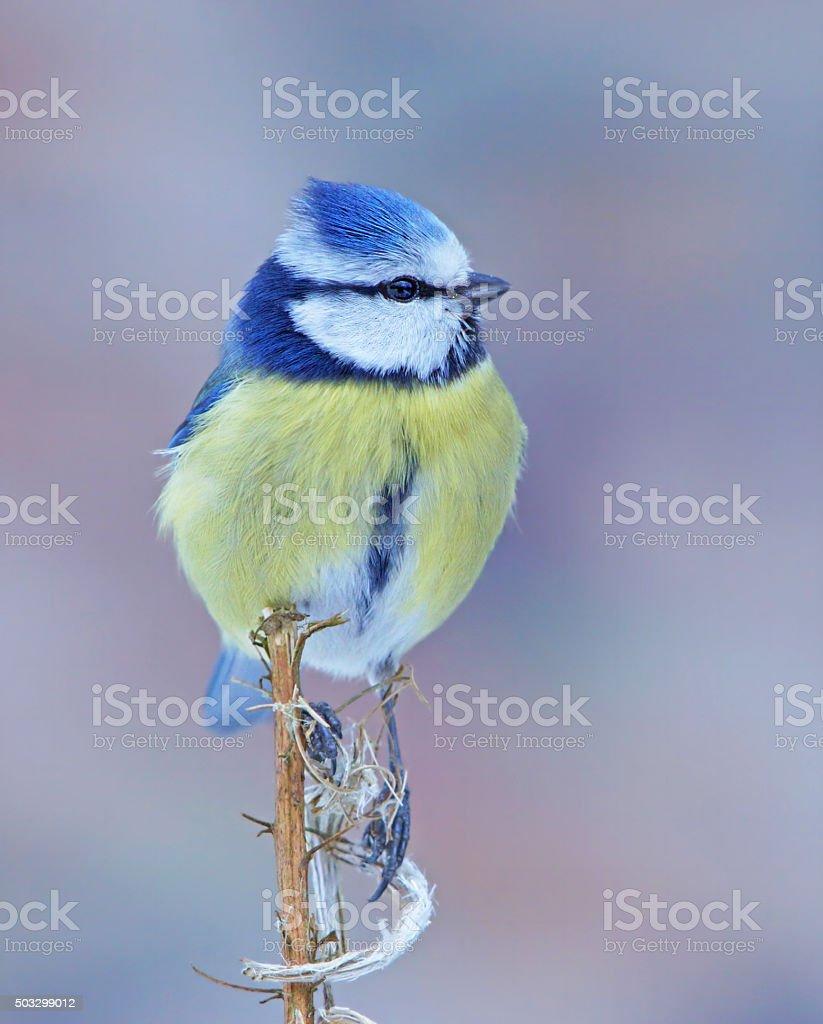 Blue tit on a plant stock photo