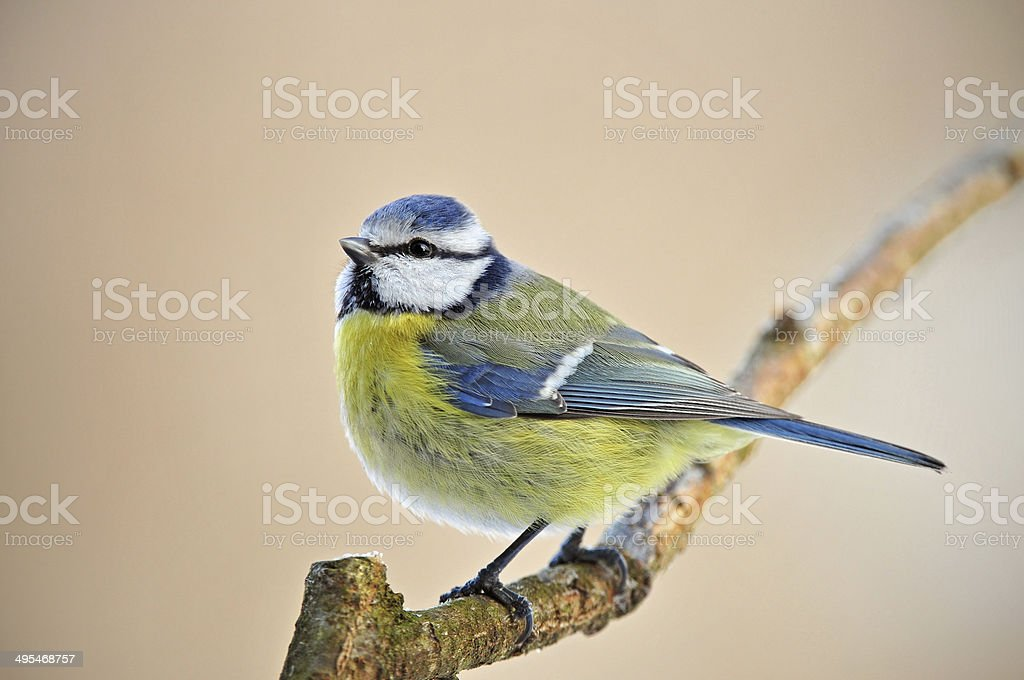 Blue tit on a twig stock photo