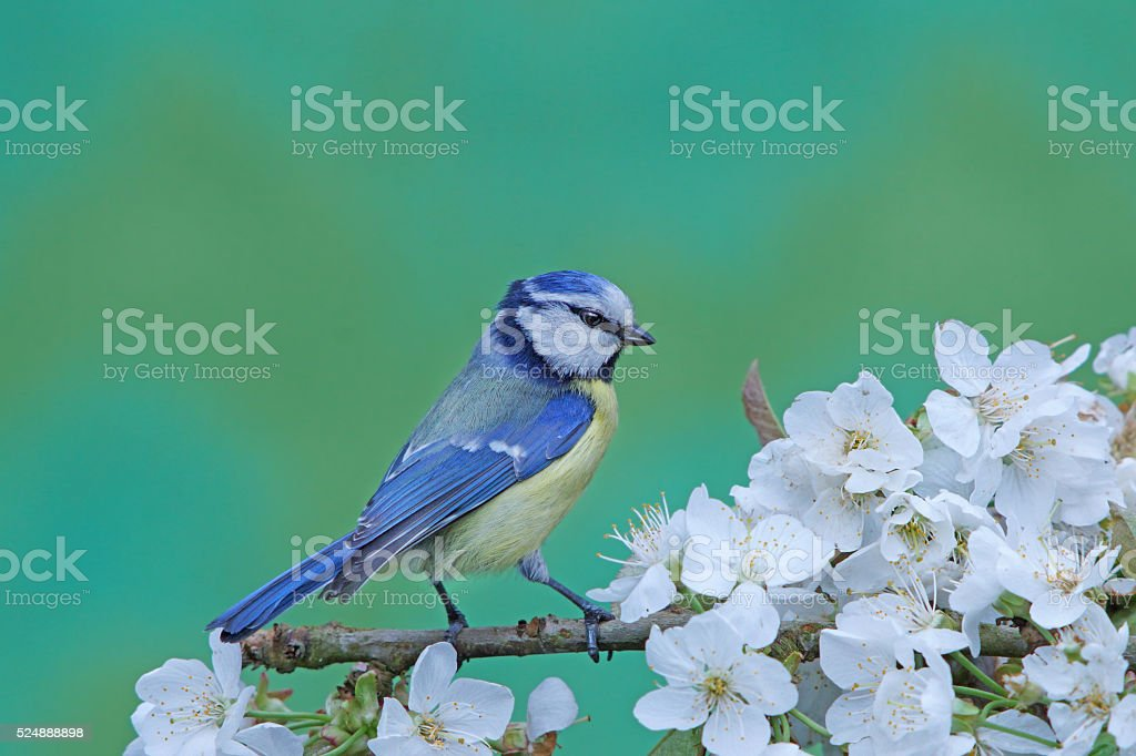 Blue tit on apple-twig stock photo