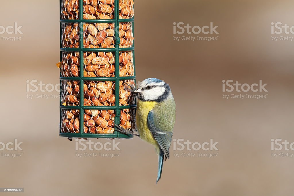blue tit on bird feeder full of peanuts stock photo