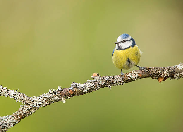 Blue Tit On Lichen Covered Branch stock photo