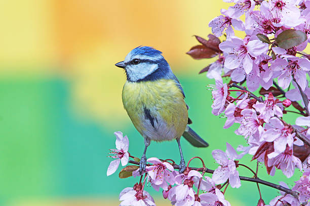 blue tit on purple-leaf plum - birds stock photos and pictures