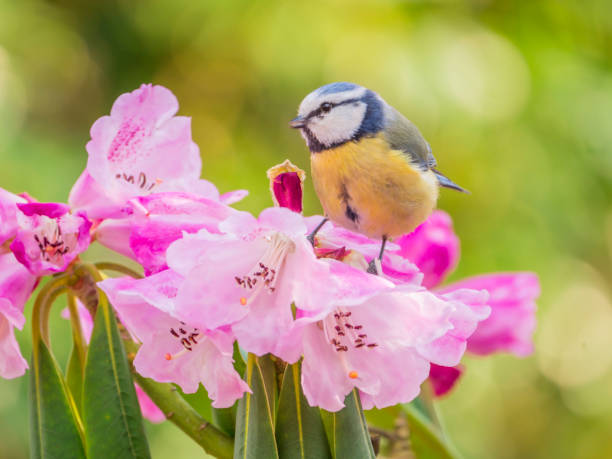 Blue tit on rhododendron flowers in spring sun Blue tit sitting on rhododendron flowers in spring sun azalea stock pictures, royalty-free photos & images
