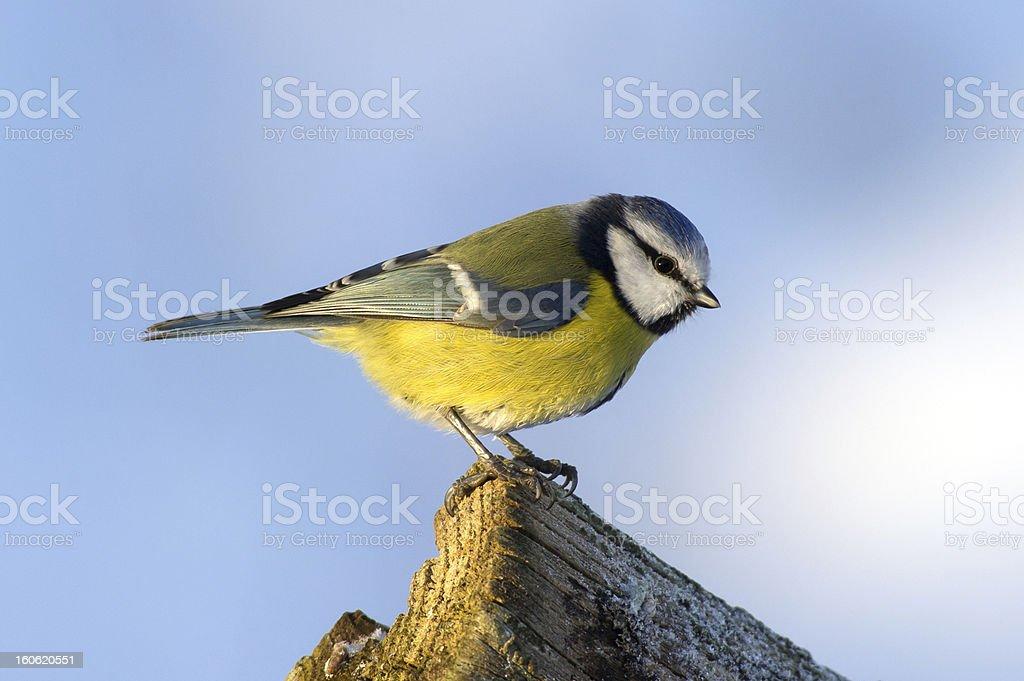 Blue Tit (Parus caeruleus) on the edge royalty-free stock photo