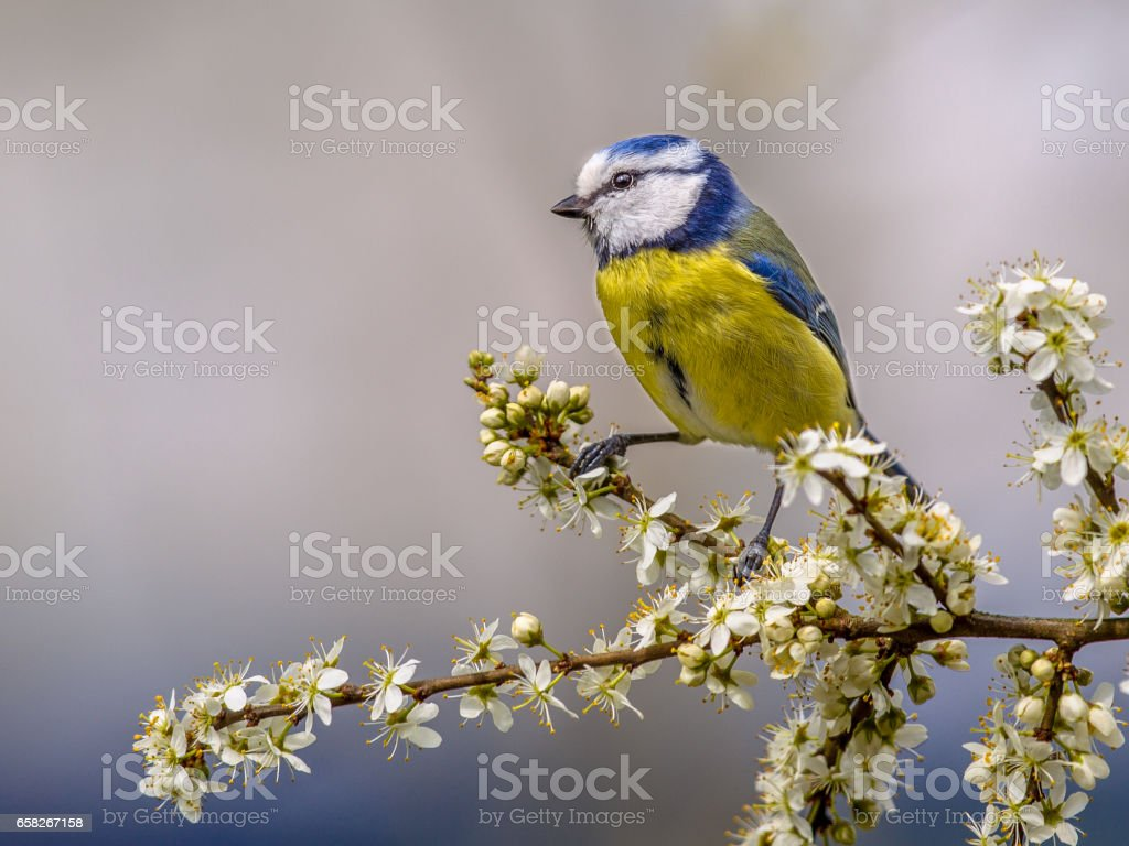 Blue tit on twig with blossom stock photo