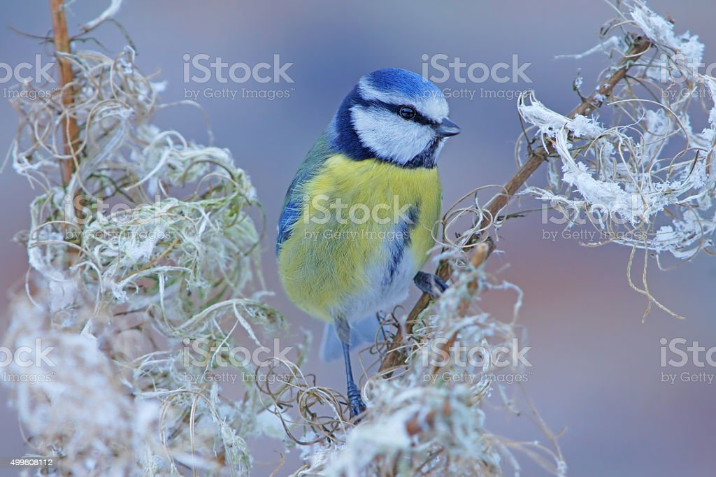 Blue tit on wintertime stock photo