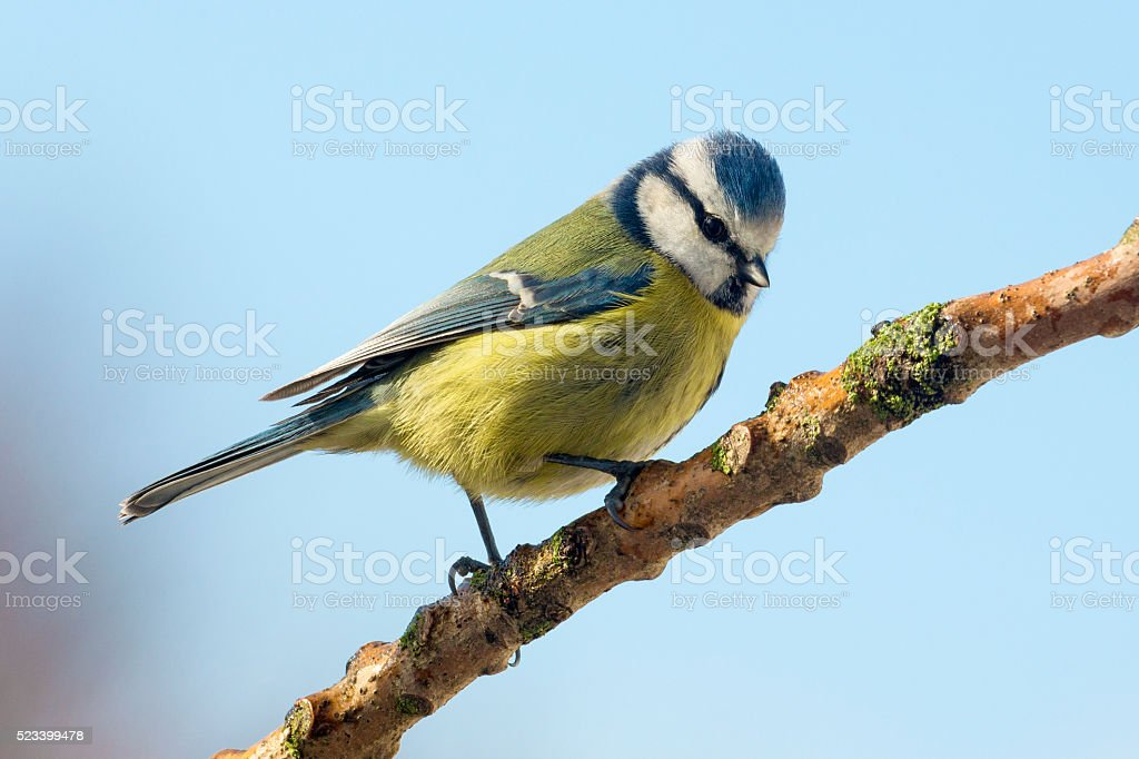 Blue Tit - Parus caeruleus - Garden Birds stock photo