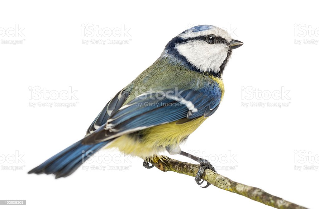 Blue Tit perched on a branch, Cyanistes caeruleus, isolated stock photo