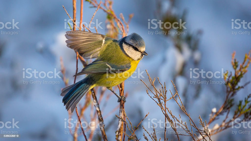 Blue Tit perched on a branch stock photo