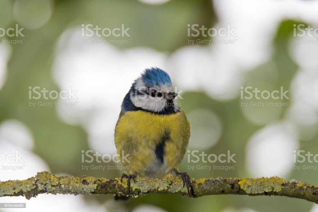 Blue tit (Cyanistes caeruleus) perched on branch head on royalty-free stock photo