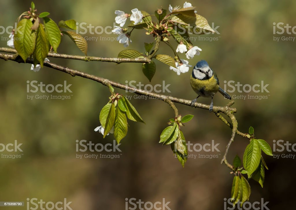 Blue Tit perched on Cherry Blossom stock photo