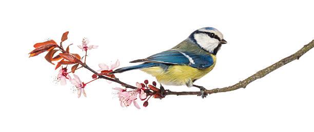 Blue tit perching on a blossoming branch cyanistes caeruleus picture id450709503?b=1&k=6&m=450709503&s=612x612&w=0&h=sklpfiskdxxvskigayvxbcknr2n6 3d6jq0pjyqczoo=