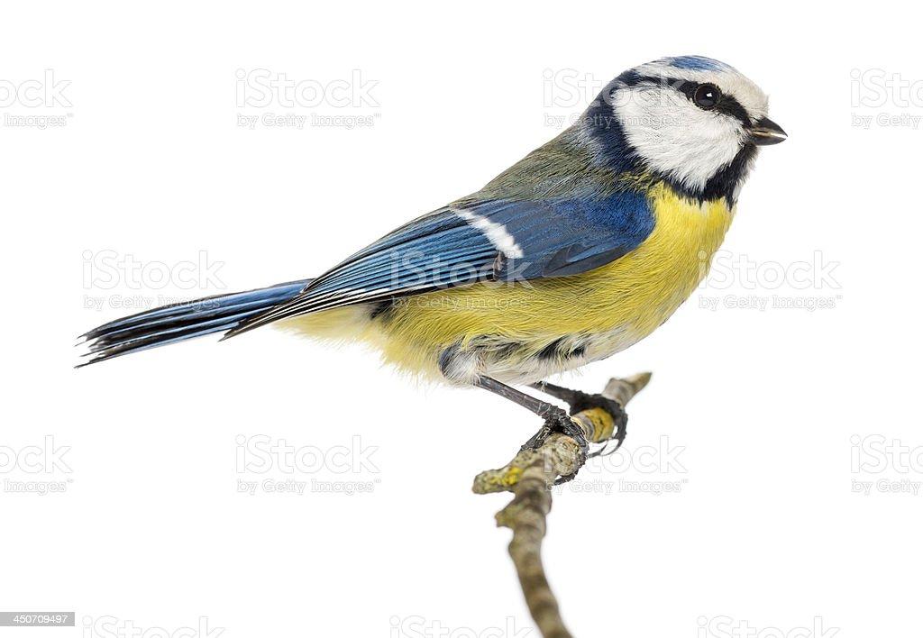 Blue Tit perching on a branch Cyanistes caeruleus stock photo