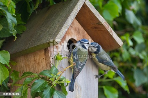 A pair of blue tits at a nesting box