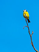 Blue Tit bird sitting on a branch