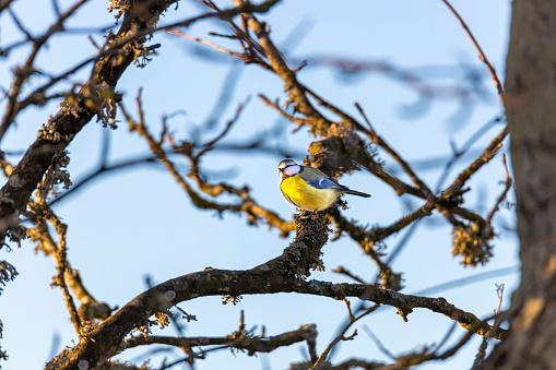 Blue Tit bird stting on a branch,