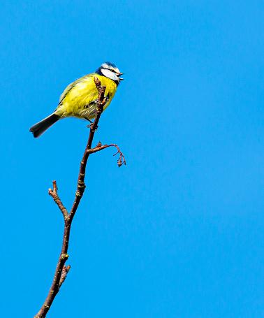 Blue Tit bird sitting on a branch,
