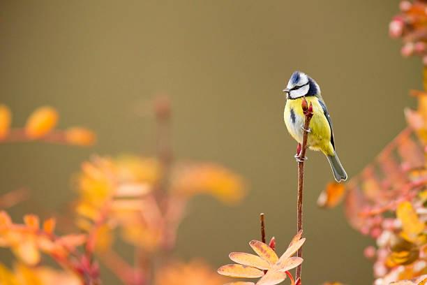 blue tit - vogel herfst stockfoto's en -beelden