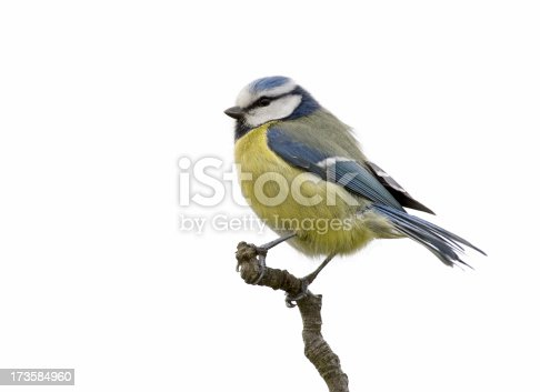 Blue tit (Cyanistes caeruleus or Parus caeruleus) isolated on a white background. RAW-file developed with Adobe Lightroom.
