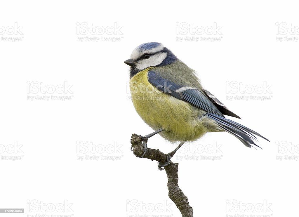 Blue Tit (Parus Caeruleus) foto