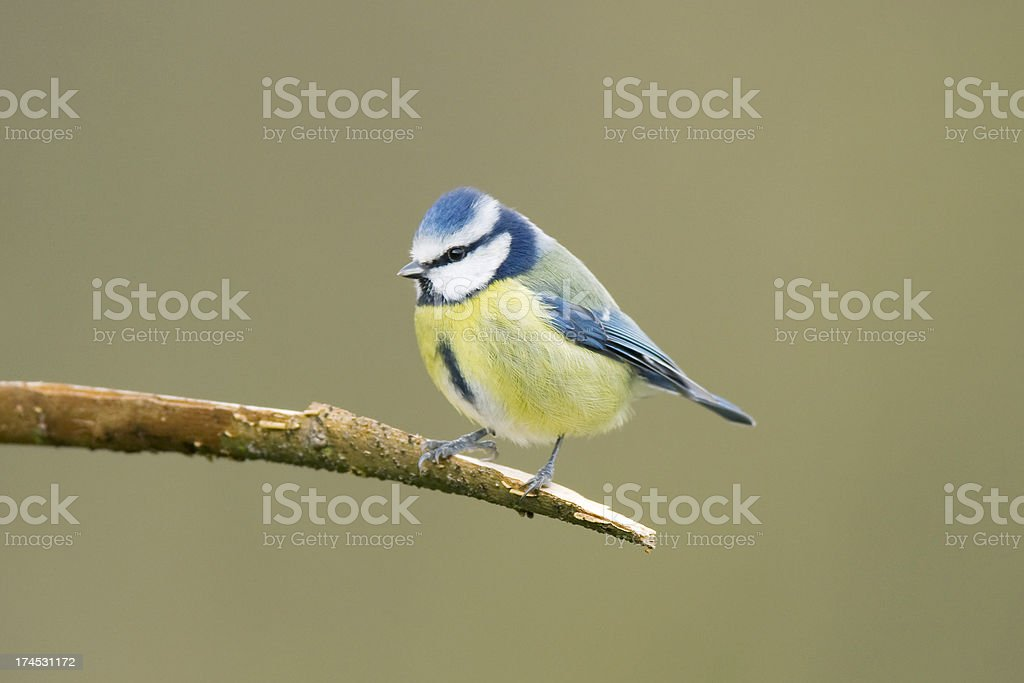 Blue Tit (Cyanistes caeruleus) stock photo