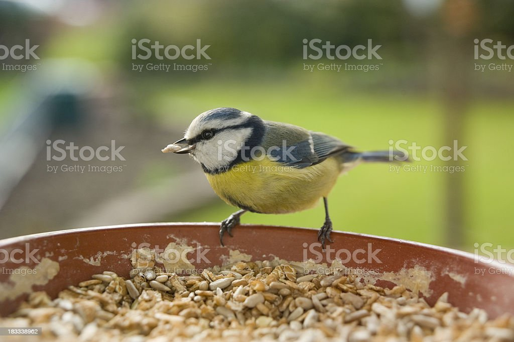 Blue tit ( Parus caeruleus ) stock photo