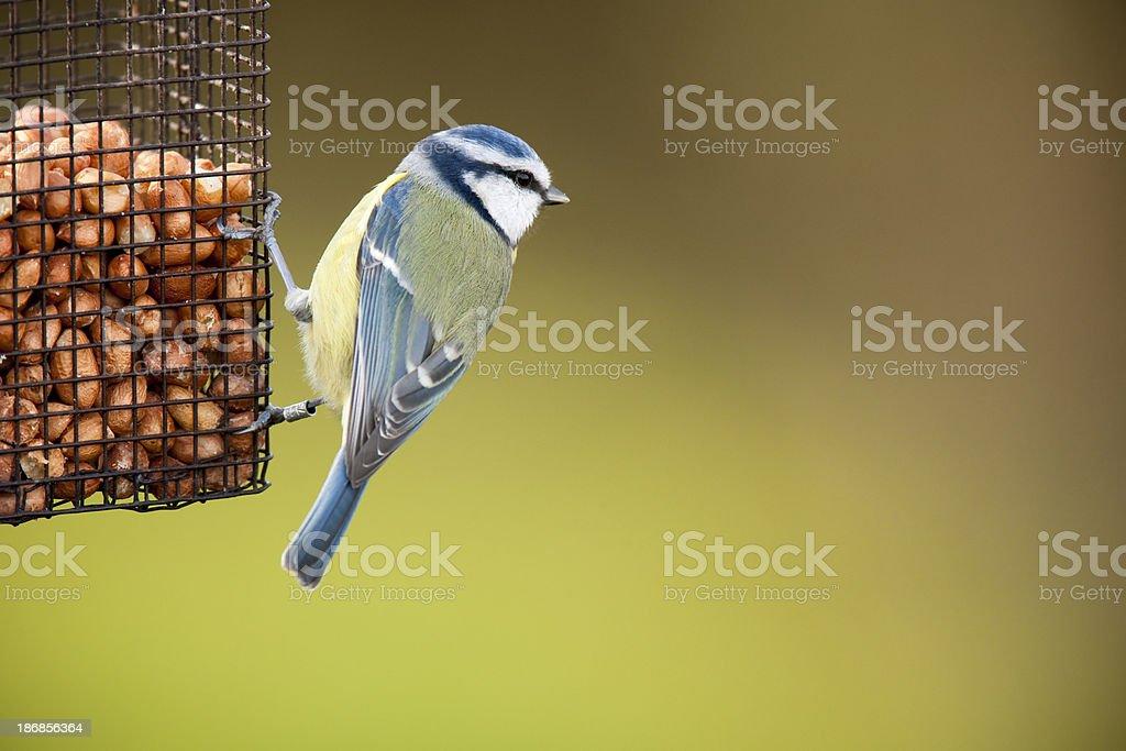 Blue Tit (Cyanistes caeruleus) stock photo