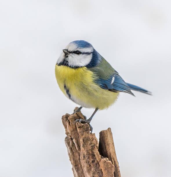 Blue tit stock photo