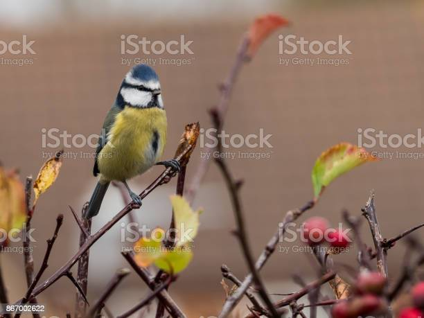 Blue Tit Stock Photo - Download Image Now