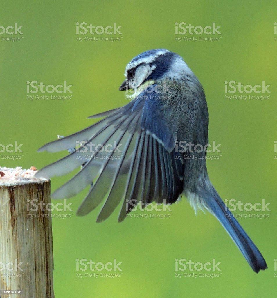 Blue Tit zbiór zdjęć royalty-free