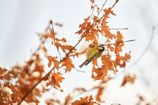 A blue tit searches for food in a tree with dried leaves in winter in Germany, high resolution with copy space